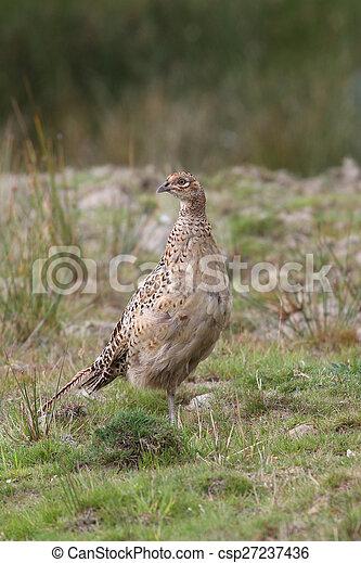Pheasant - csp27237436