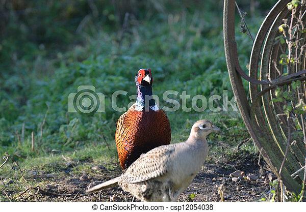 Pheasants at farm - csp12054038