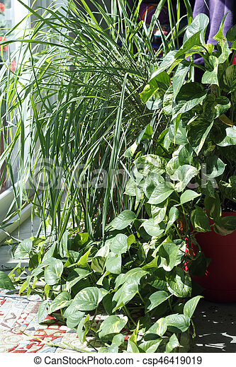 Philodendron and Lemongrass Plants in a Sunny Window - csp46419019