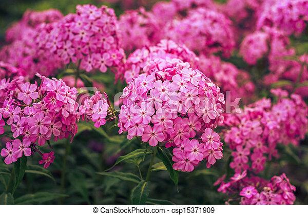 Phlox Flower - csp15371909