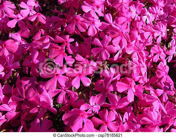 Phlox - Phlox douglasii, common name tufted phlox or Columbia phlox, closeup, dark pink cultivar on a stone wall, beautiful garden in spring - csp78185621