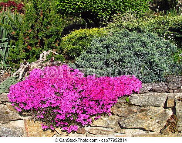 Phlox - Phlox douglasii, dark pink cultivar on a stone wall, beautiful garden in spring - csp77932814
