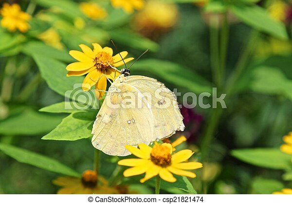 Phoebis philea aka Orange Barred Sulphur butterfly - csp21821474