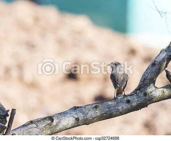phoenicurus ochruros, black redstart, - csp32724688