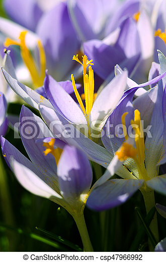 Photo close small spring flowers crocuses they can be white purple photo close small spring flowers crocuses mightylinksfo