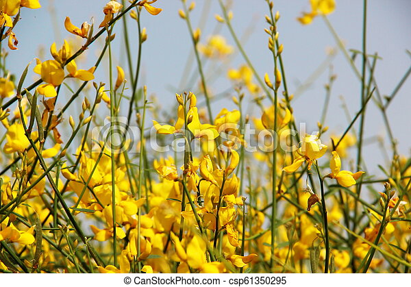 Photo Of Background Flowering Yellow Broom Flower Background