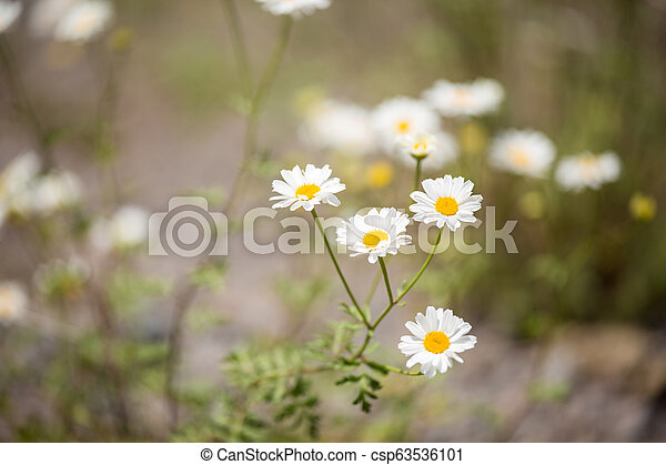 Photo of daisies in forest - csp63536101