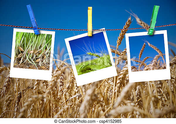 photos of wheat hang on rope with pins. Seasonal growth concept - csp4152985