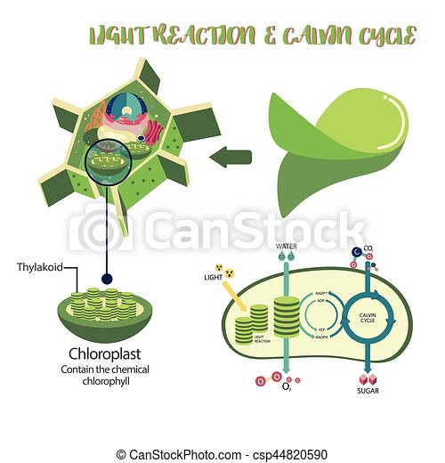 Photosynthesis process diagram photosynthesis plant cell eps photosynthesis process diagram ccuart Images