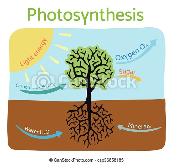 Photosynthesis Process Diagram Schematic Vector Illustration