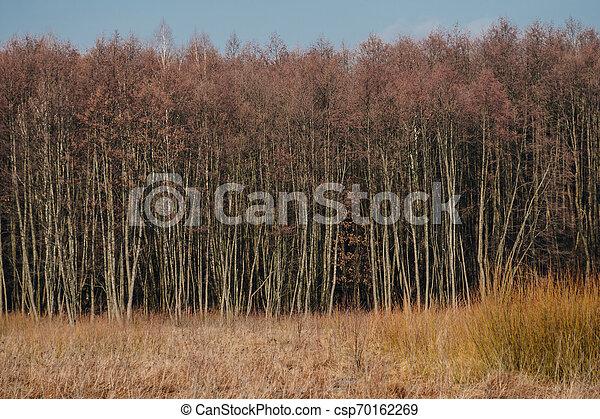 phragmites in front of trees - csp70162269
