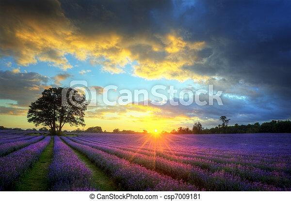 piękny, atmosferyczny, dojrzały, wibrujący, okolica, pola, wizerunek, niebo, lawenda, oszałamiający, zachód słońca, angielski, chmury, na, krajobraz - csp7009181