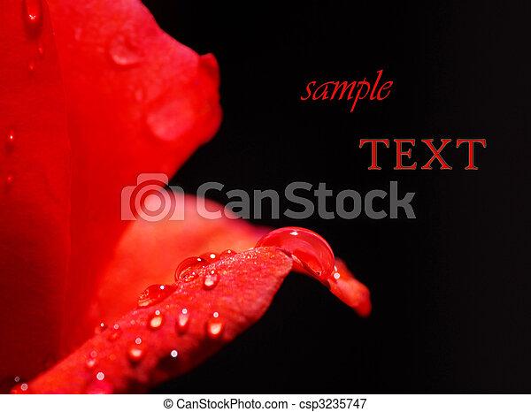 piękny, róża, szczelnie-do góry - csp3235747