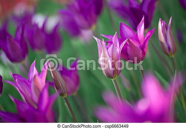 piękny, różowy, ogród, tulipany - csp6663449