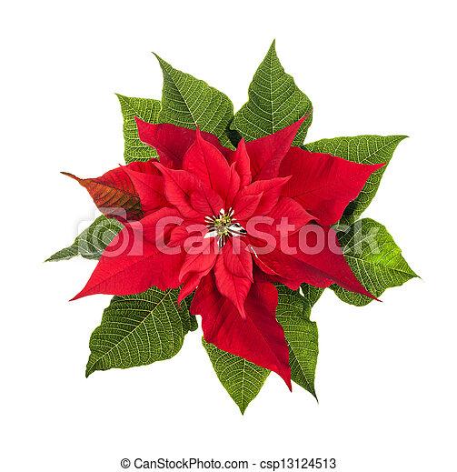 Stella Di Natale Bianca.Pianta Bianco Isolato Stella Di Natale Natale