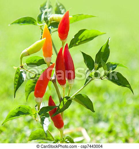 Pianta peperoni arancia calda peperoncino rosso for Pianta peperoncino
