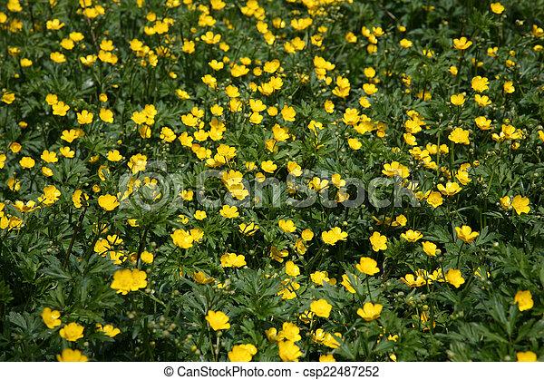 cespuglio giallo