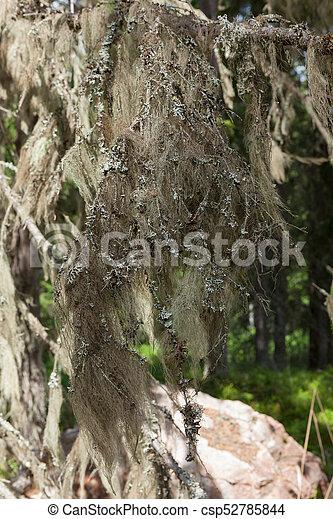 Mugo de barba colgando en rama de abeto - csp52785844