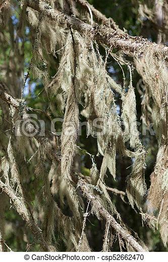 Mugo de barba colgando en rama de abeto - csp52662470