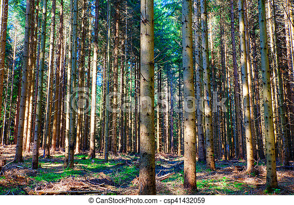 picea, eslovenia, bosque - csp41432059