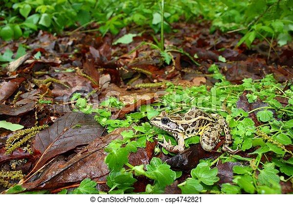 Pickerel Frog (Rana palustris) - csp4742821