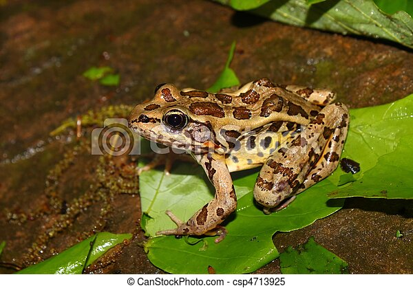 Pickerel Frog (Rana palustris) - csp4713925
