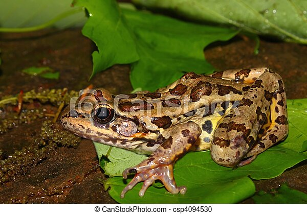 Pickerel Frog (Rana palustris) - csp4094530
