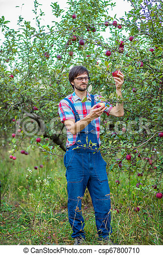 Picking apples. A man with a full basket of red apples in the garden. - csp67800710
