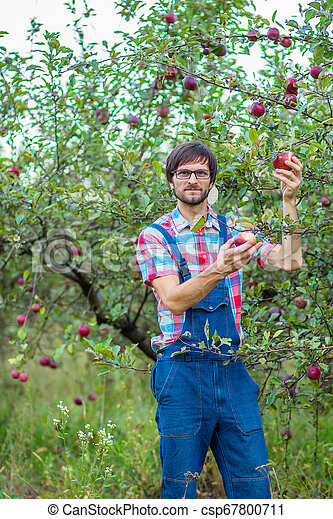 Picking apples. A man with a full basket of red apples in the garden. - csp67800711