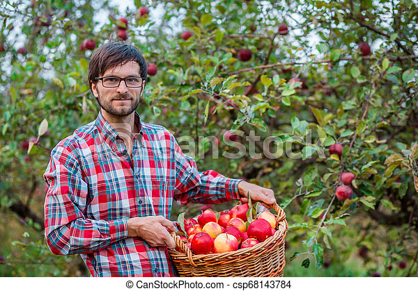 Picking apples. A man with a full basket of red apples in the garden. - csp68143784