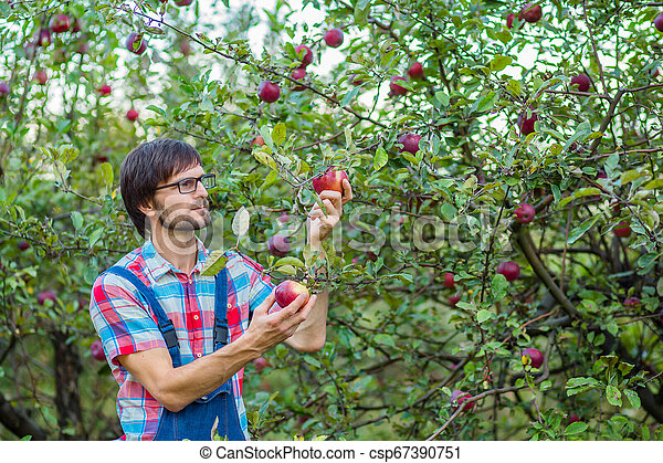 Picking apples. A man with a full basket of red apples in the garden. - csp67390751