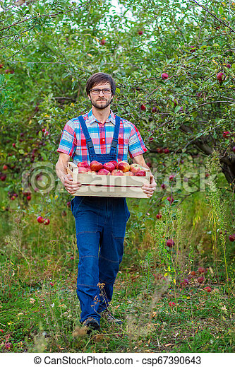 Picking apples. A man with a full basket of red apples in the garden. - csp67390643