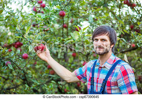 Picking apples. A man with a full basket of red apples in the garden. - csp67390645