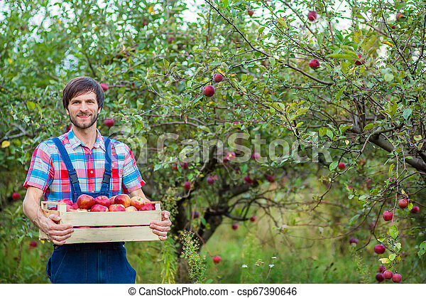 Picking apples. A man with a full basket of red apples in the garden. - csp67390646