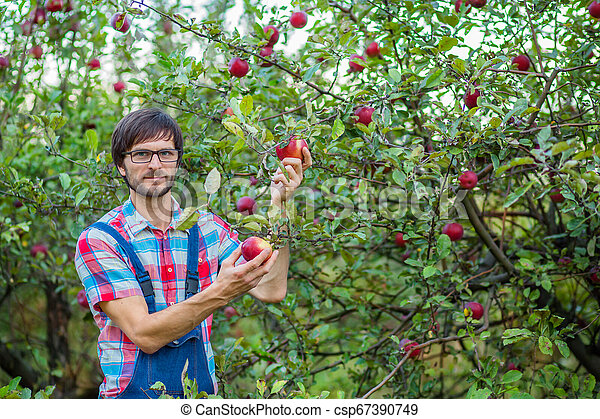 Picking apples. A man with a full basket of red apples in the garden. - csp67390749