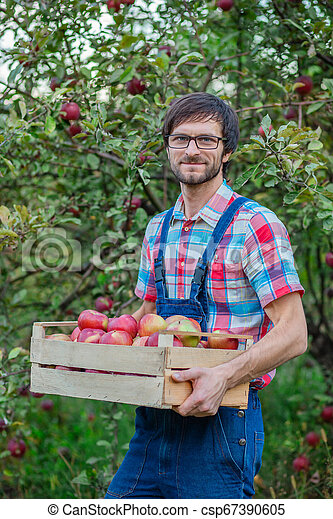 Picking apples. A man with a full basket of red apples in the garden. - csp67390605