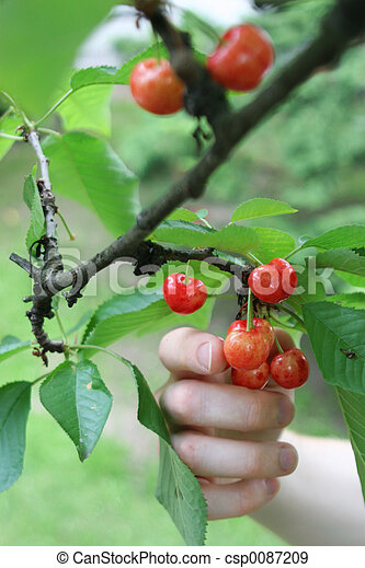 Picking cherries 1 - csp0087209
