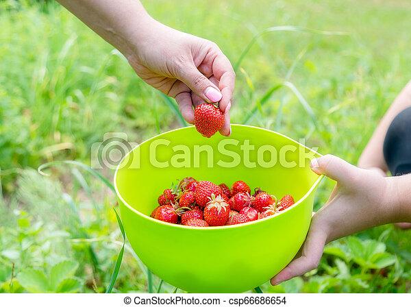 Picking home grown strawberry in garden. Organic berries in hand - csp66686654