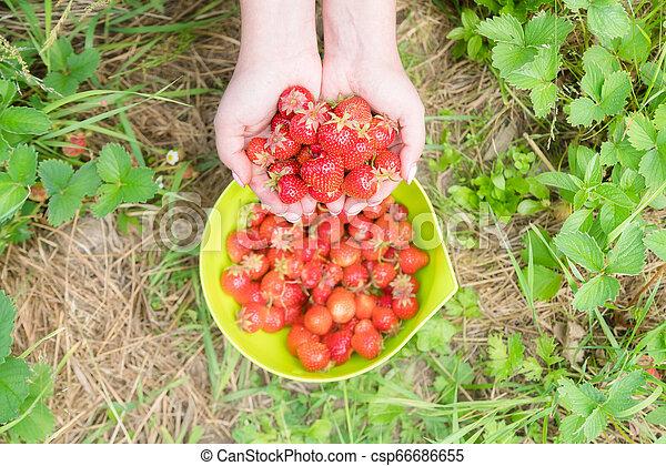 Picking home grown strawberry in garden. Organic berries in hand - csp66686655