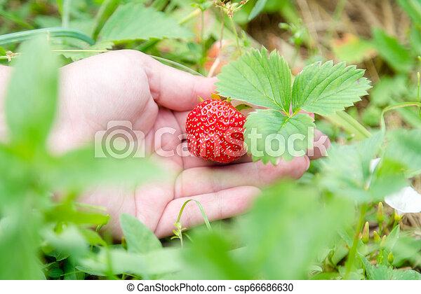 Picking home grown strawberry in garden. Organic berries in hand - csp66686630