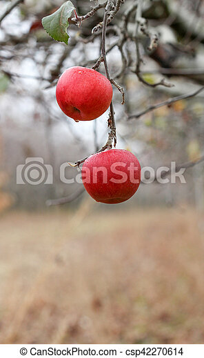 picture of a Two apples forgotten in a harvest , Apple Orchard in november - csp42270614