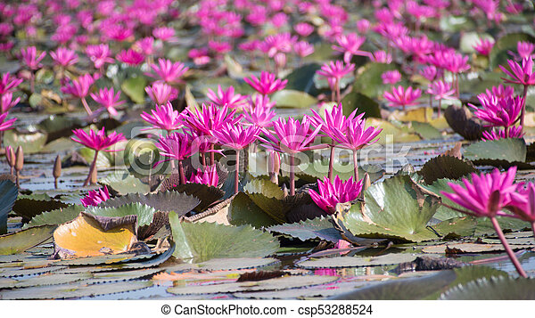 Picture of beautiful lotus flower field at the red lotus seaudon picture of beautiful lotus flower field at the red lotus seaudon thani thailand mightylinksfo