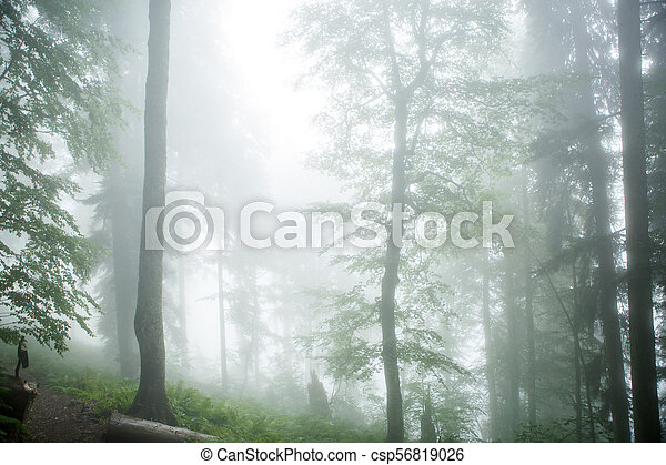 Picture of foggy forest with trees - csp56819026