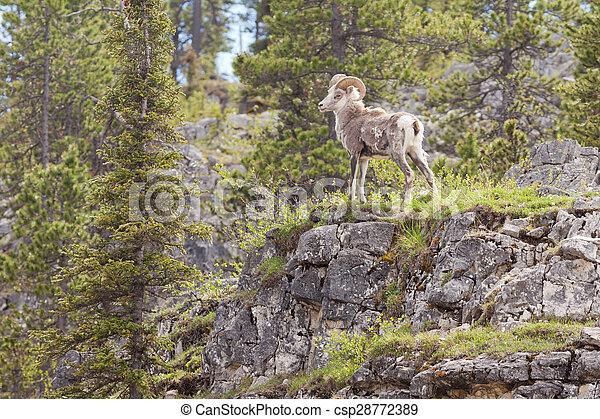 La oveja de piedra ram ovis dalli stonei - csp28772389