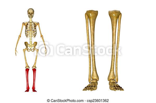 Piernas, esqueleto. Preciso, limb[1][2], muslo, \