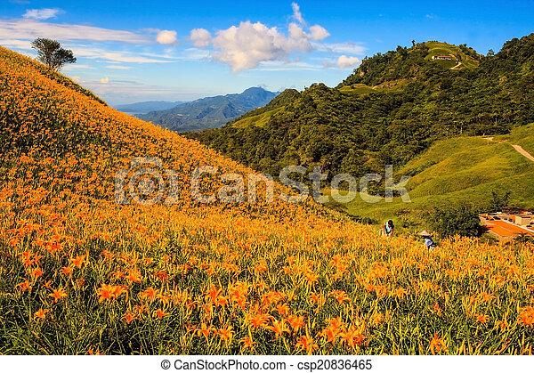 pierre, orange, soixante, daylily, taiwan, montagne - csp20836465