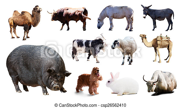pig  and other farm animals. Isolated over white  - csp26562410
