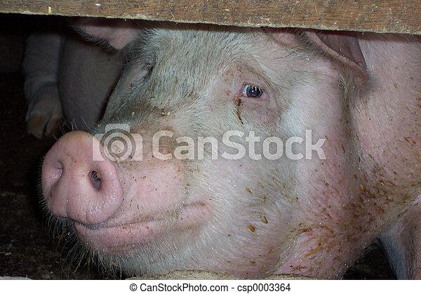 Pig face full view - csp0003364