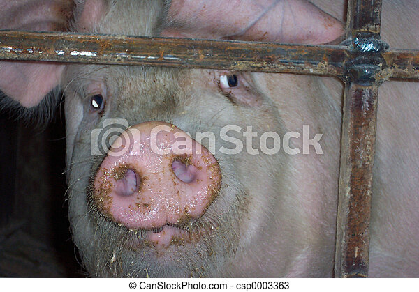 Pig front view #2 - csp0003363