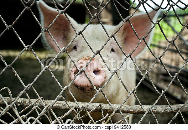 pig in a metal fence - csp19412580